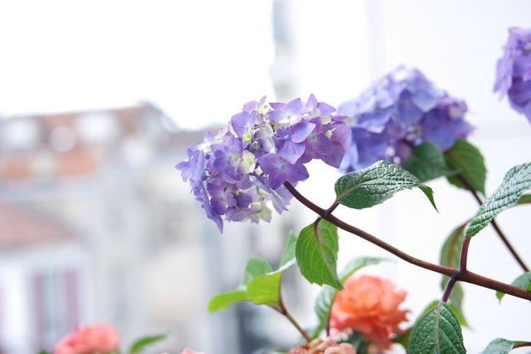hortensia plante fleurie parfaite pour notre petit balcon