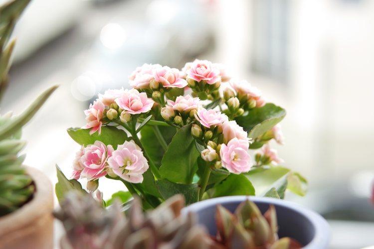 joli kalanchoe aux fleurs roses