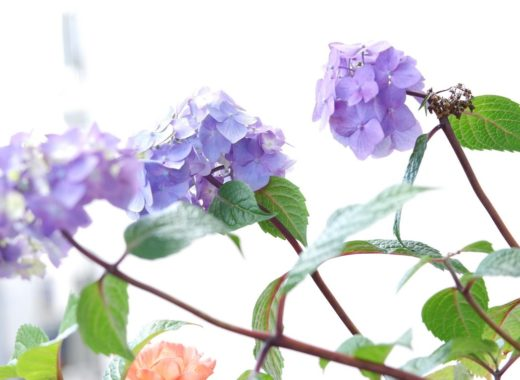 mon bel hortensia sur notre balcon fleuri