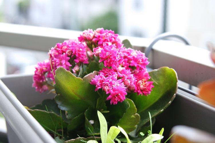 petit kalanchoé rose fuschia fleuri pour notre balcon en jardiniere