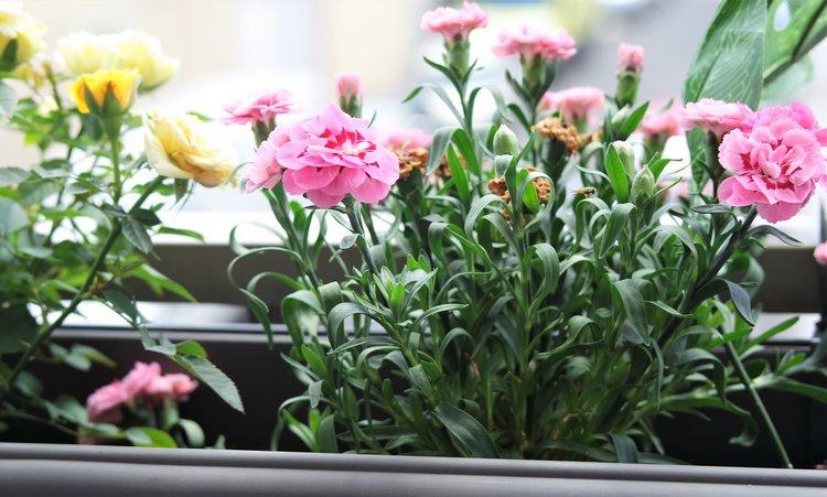 roses jauneS et oeillets sur notre balcon fleurs fraiches fleuries