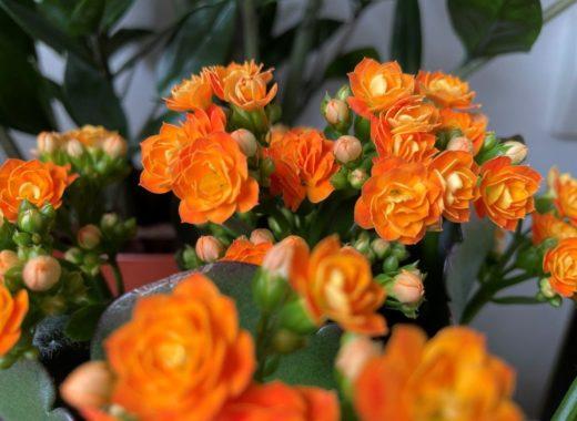 Joli Calandiva (Kalanchoé) fleuri couleur orangée