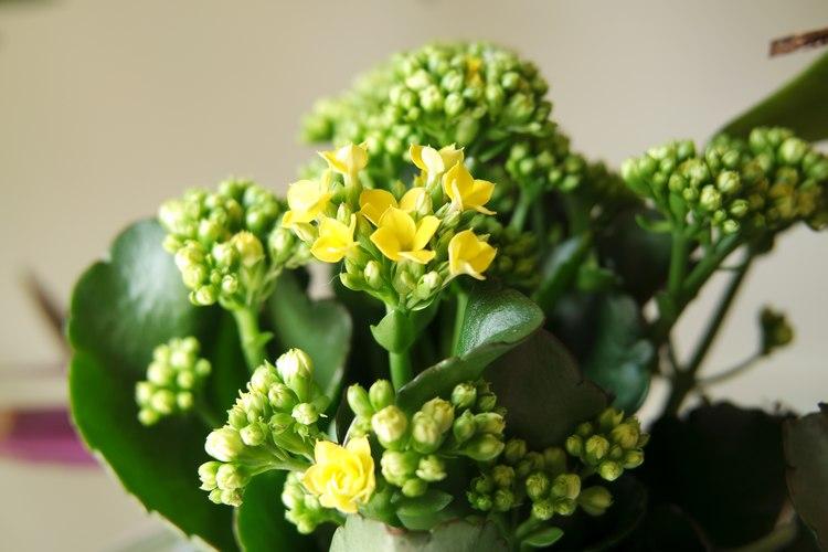 début de floraison boutons de fleurs de calandiva kalanchoé